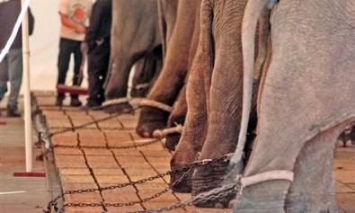 elephants_in_chains